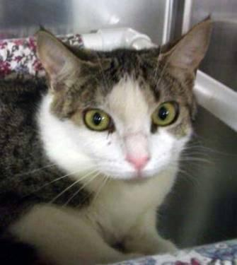 Tabby - White - Jetta - Medium - Adult - Female - Cat
