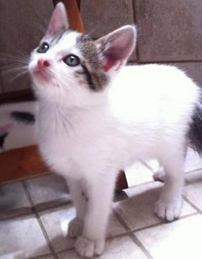 Tabby - Delta - Medium - Baby - Female - Cat