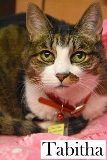 Tabitha Domestic Shorthair Senior Female