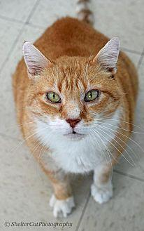 Taffy (Mr) Domestic Shorthair Senior Male
