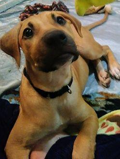 Takis Black Mouth Cur Puppy Male