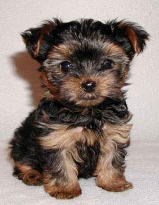 Talented Teacup Yorkie Puppies Available For Sale In Fair Lawn New