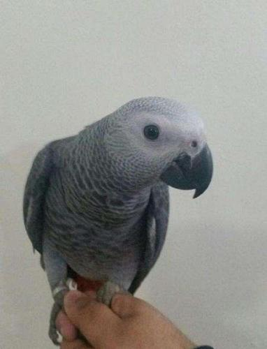 Talking African Grey Parrot