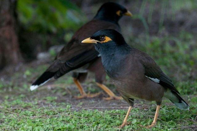 talking mynah bird pairs and singles,common mynahs and ... - photo#11