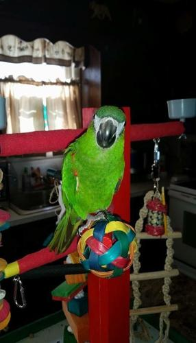 Talking & Tame Hand Fed Hahns Macaw 11 months old