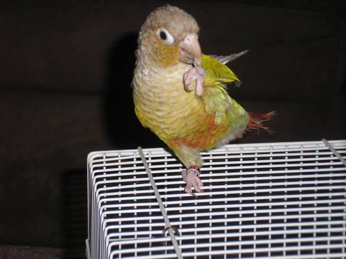 Tame, Male Cinnamon Green Cheek Conure