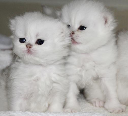 Teacup Cats For Sale Mn