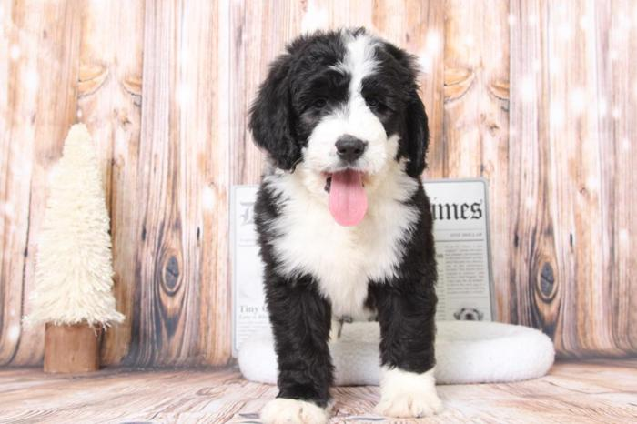 Tank Male Bernedoodle Puppy For Sale In Bel Air Maryland