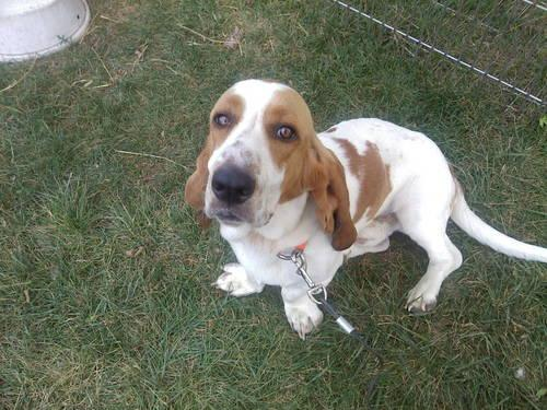 Tank) AKC UKC lemon and white Basset hound in Chesaning, Michigan For