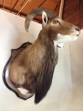 Taxidermy Shoulder Mount Sheep