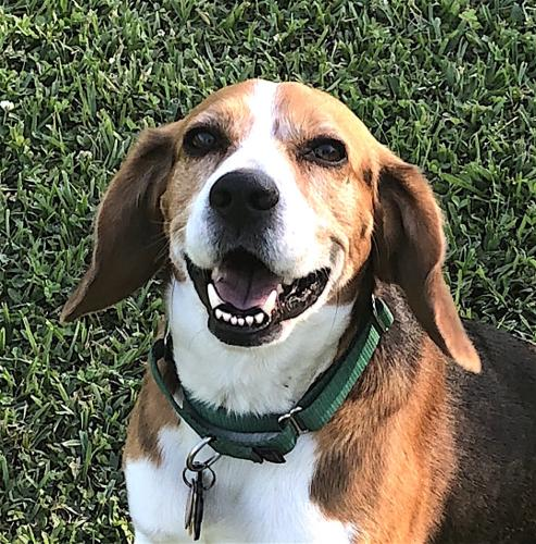 adult beagles for sale in so cal