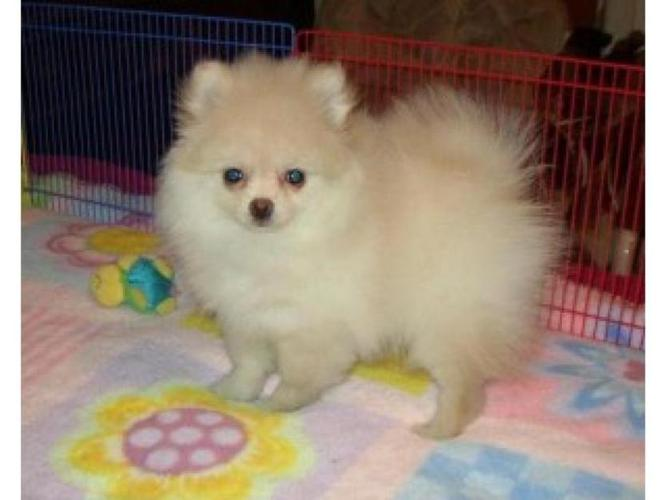Tcup Pomeranian Puppies For Sale In Houston Texas Classified
