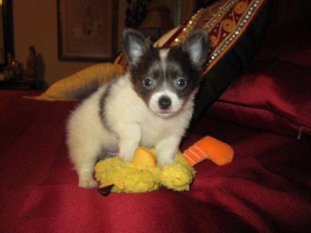 Tea Cup Chihuahua Male-Gunner-Beautiful Blue/White Baby