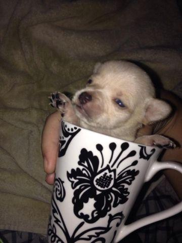 Tea cup chihuahua puppies for Sale in Davie, Florida Classified ...