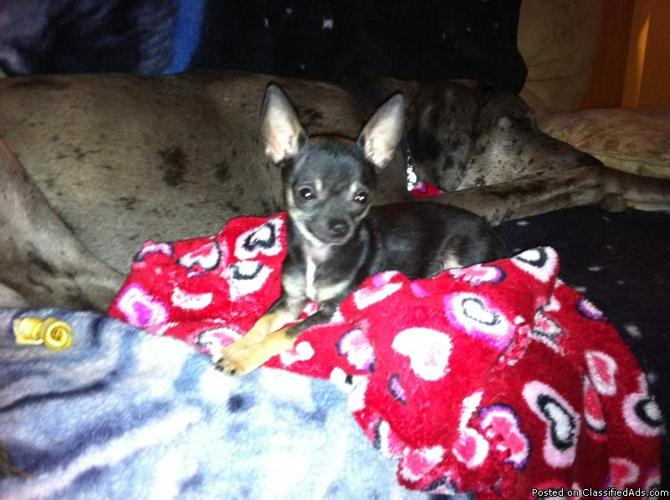 tea cup chihuahua stud available