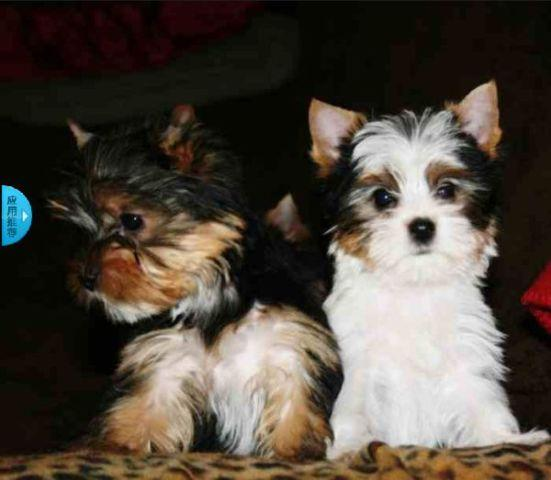 Mini Yorkie Puppies Near El Paso Tx Yorkshire Terrier Puppies For