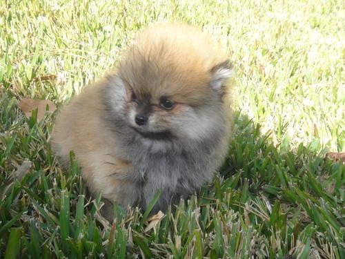 Tea Cup Pomeranians for Sale in Ames, Texas Classified ... | 500 x 375 jpeg 63kB