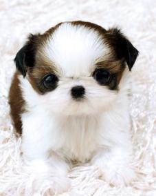 Tea Cup Shih Tzu Puppies For Adoption For Sale In Kansas City