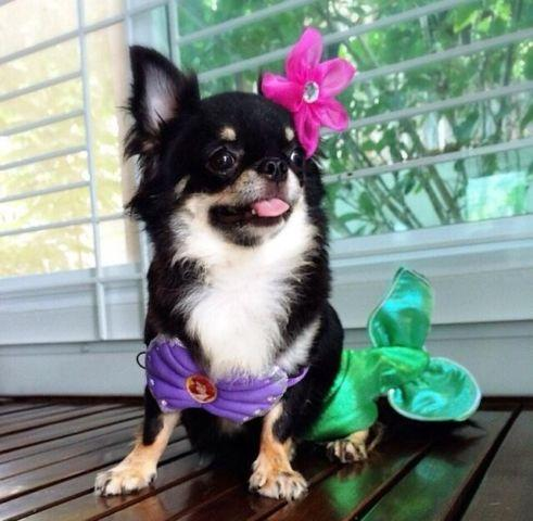 Teacup 3 5lb Long Haired Applehead Chihuahua For Sale In