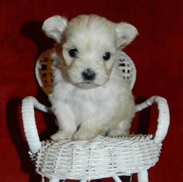 Teacup Chihuahua Puppies For Sale In Texas Classifieds Buy And