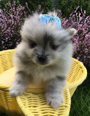 pomeranian puppies for sale in alabama teacup and toy pomeranian puppies pom for sale in 949