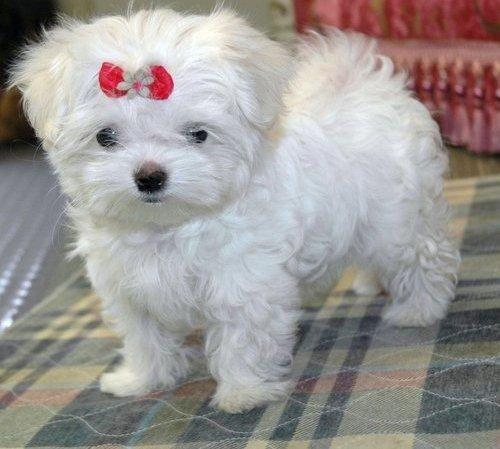 Teacup And Toy Size Maltipoo Morkie Yorkipoo For Sale