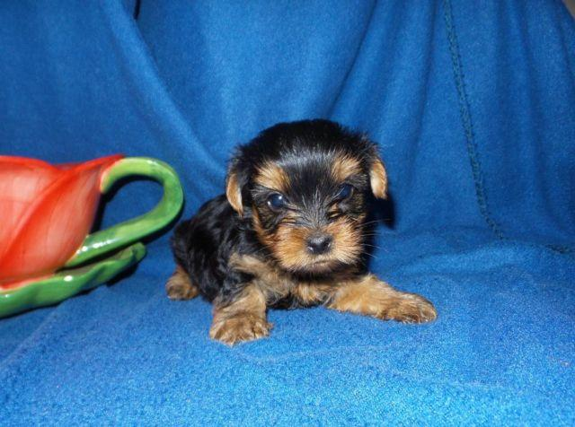 Teacup And Toy Size Yorkie Puppies Yorkshire Terrier For Sale In