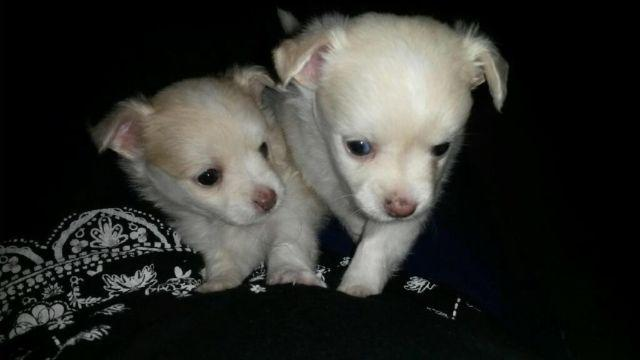 Teacup apple head chihuahua/Maltese mix for Sale in Horse Cave ...