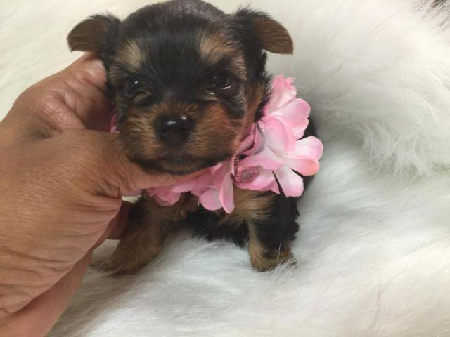 Teacup Black and Tan female