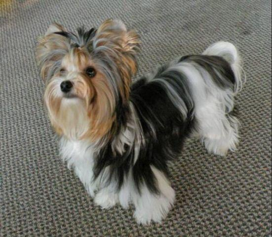 Teacup Breeds For Sale In Odessa Texas Classified Americanlistedcom