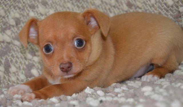 teacup chihuahua puppies for sale in Alabama Classifieds & Buy and ...