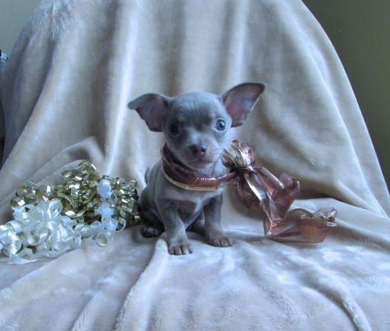 Teacup Chihuahua Blue Fawn Male Called
