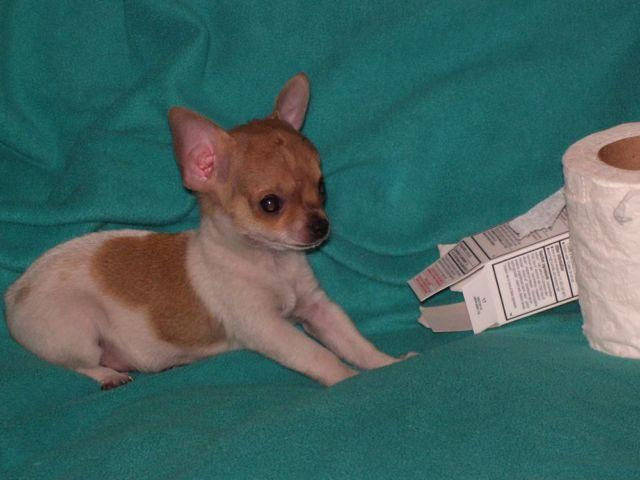 Teacup Chihuahua boy