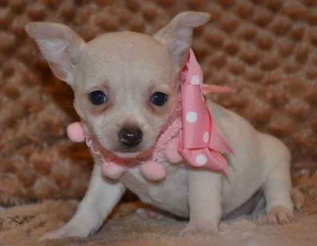 Teacup Chihuahua Felicity