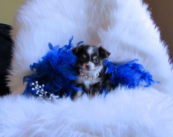 Teacup chihuahua male Caesar