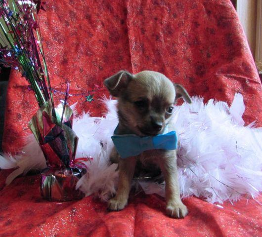 Teacup chihuahua male Izzy