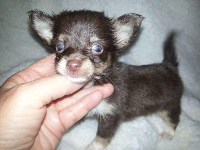 Applehead Chihuahua Rescue Texas