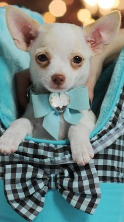 Teacup Chihuahua Puppies For Adoption For Sale In Las Vegas