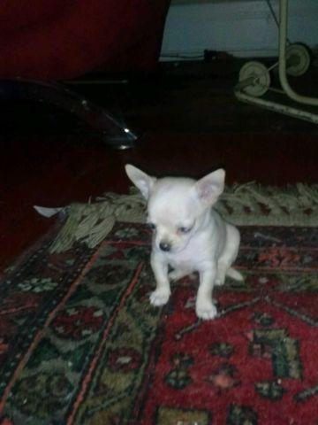 Teacup Chihuahua Puppies For Sale For Sale In Cincinnati Ohio