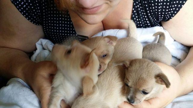 chihuahua puppies for sale in michigan teacup chihuahua puppies price reduced for sale in 1335