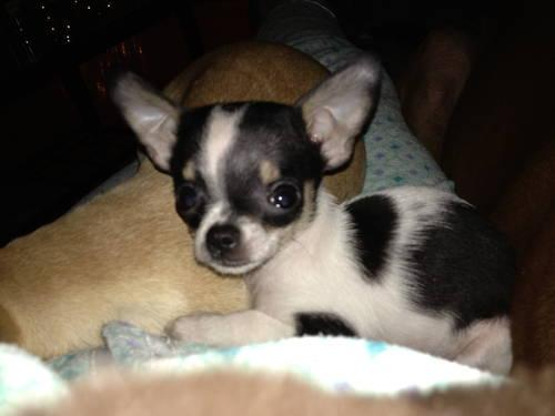 tri color chihuahua teacup chihuahua tri color for sale in crosby ohio 5205