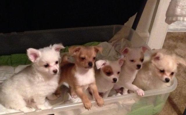 pomeranian breeders va teacup chihuahuas pomeranians for sale in norfolk 7645