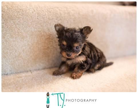 Teacup Chorkie Puppies For Sale In Chesapeake Virginia