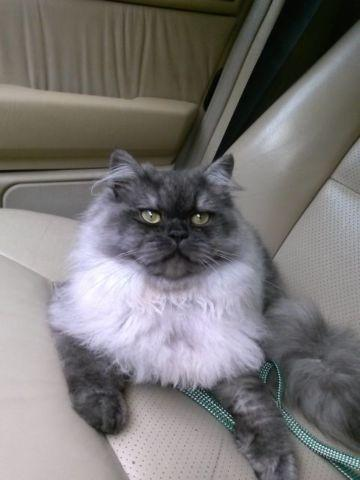 Teacup Dollface Persian Kittens for Sale in Jacksonville, Florida ...
