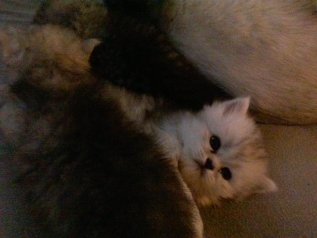 chinchilla silver persian for sale in Florida Classifieds & Buy and ...