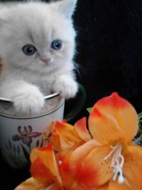 Teacup Exotic Shorthair Kittens For Sale In Olathe