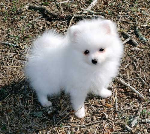 pomeranian california teacup female pomeranian for sale in los angeles 6817