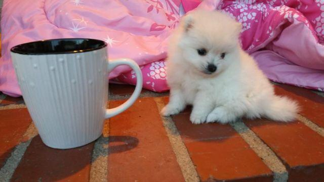 Teacup Female Pomeranian Puppy Dog 8 Weeks Old White Very Fluffy Cute For Sale In Harbor City California Classified Americanlisted Com