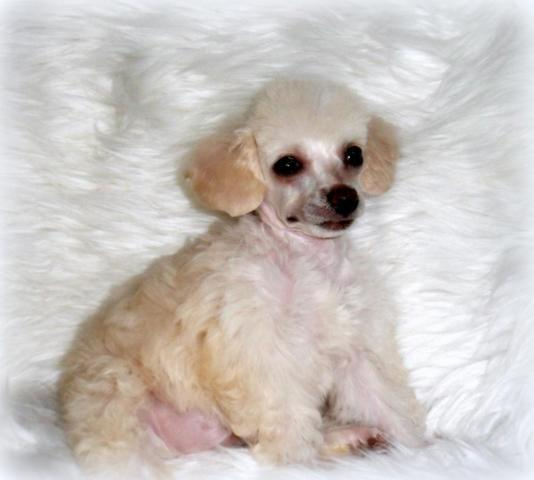 Teacup female Poodle