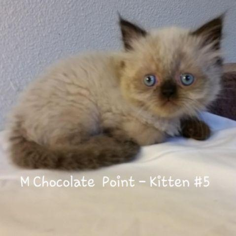 Teacup himalayan persian kittens - Available now for Sale in San ...